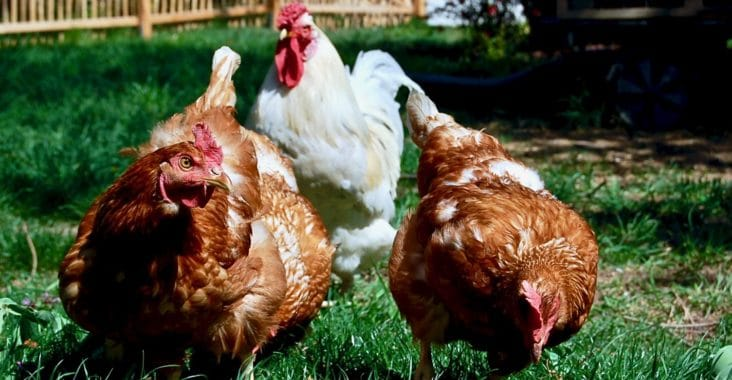 Hühner-Grundausstattung