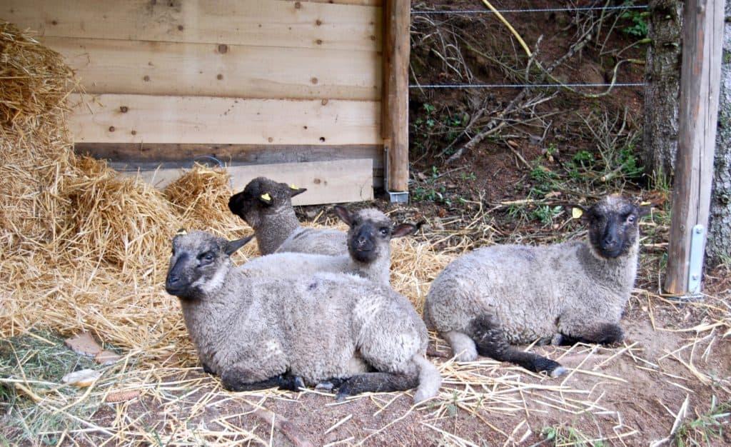 entspannt im Schafunterstand