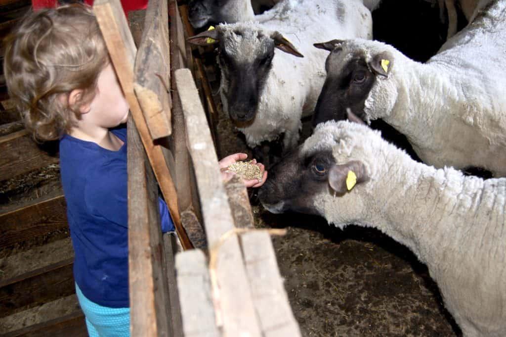Shropshire-Schaf-Fütterung