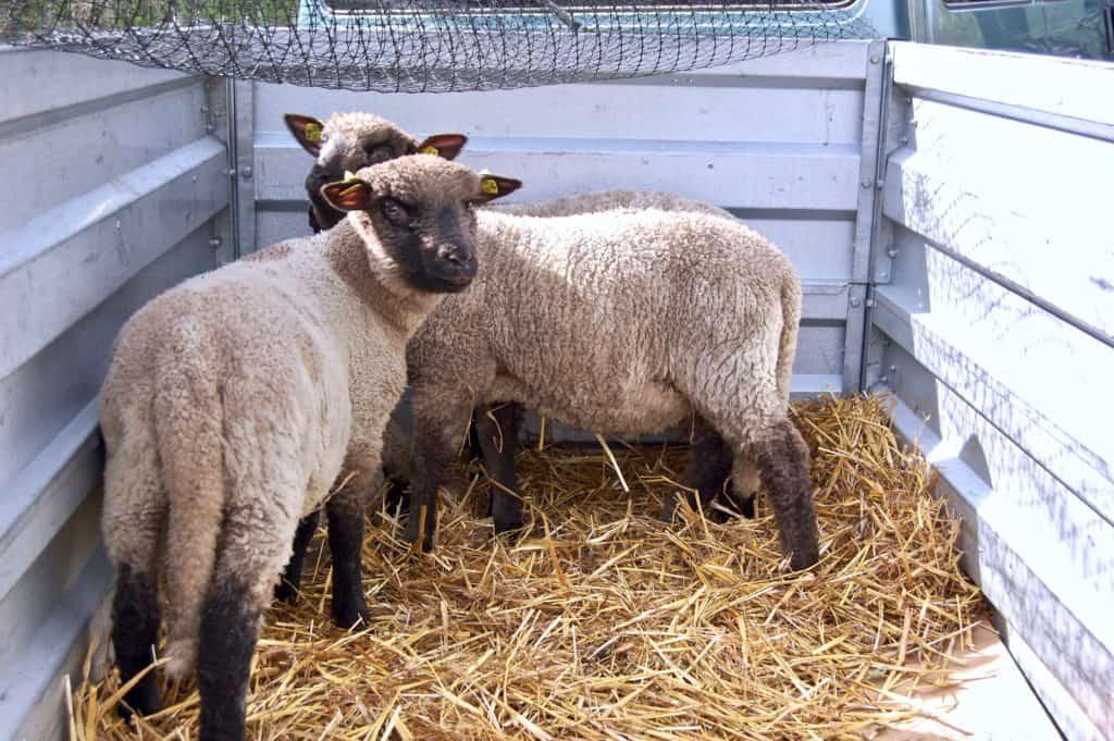 Shropshire-Schafe im Anhänger