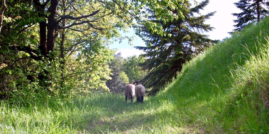 Shropshire-Schafe auf Erkundungstour
