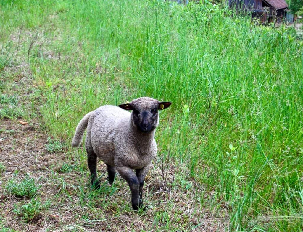 Shropshire-Schaf Nummer 3