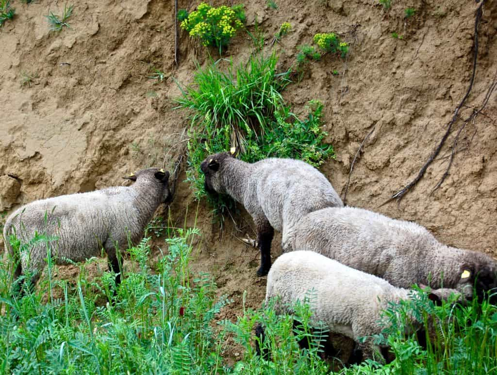 Shropshire-Schafe mähen am Hang