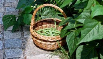 Buschbohnen-Ernte