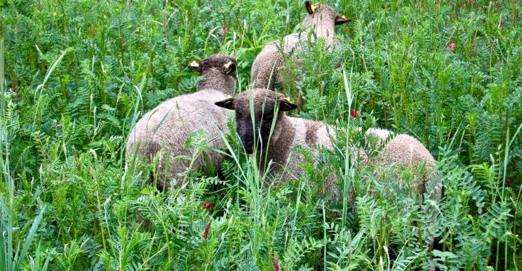 Schafhaltung im Sommer