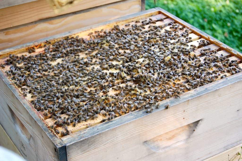 Bienen-Getümmel auf den Waben