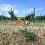 Welthundetag: Mona im Weingarten