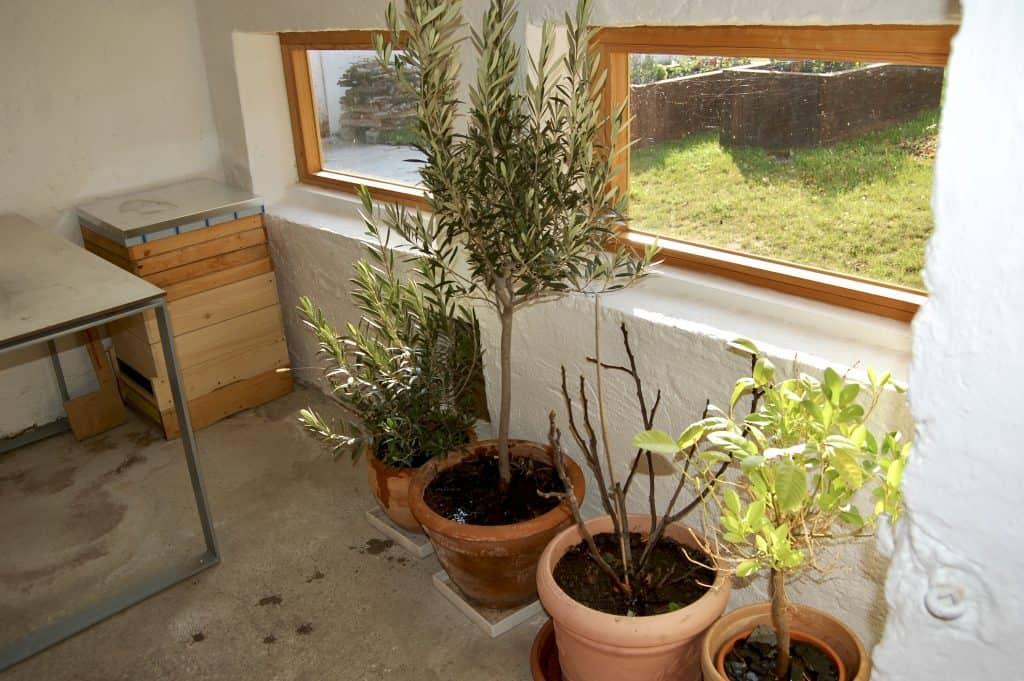 Bäume überwintern im Imker-Raum