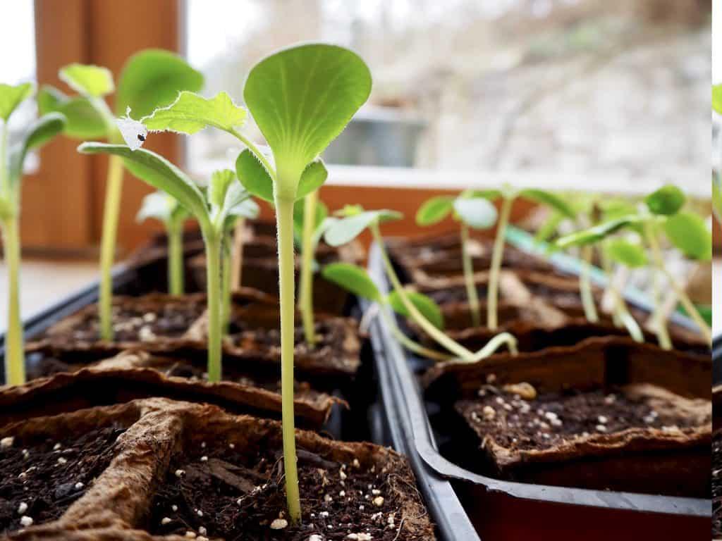 Pflanzen aufziehen: Kürbis-Setzlinge nach etwa 2 Wochen