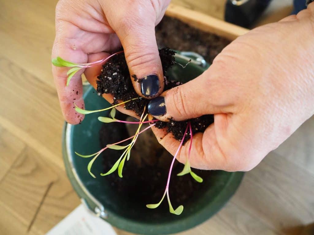 kleine Mangold-Wurzeln vorsichtig trennen