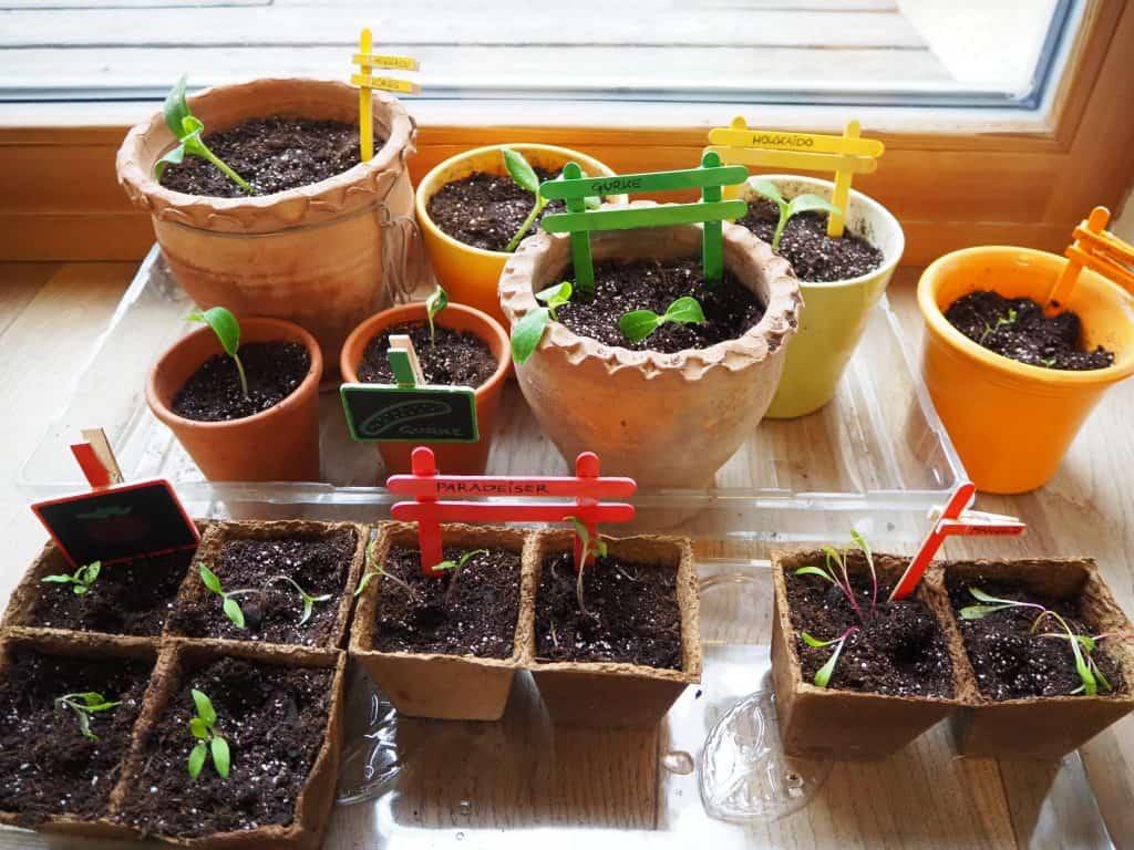 Pflanzen aufziehen: Pflänzchen in neuen Töpfen
