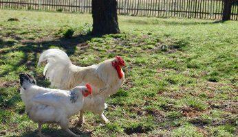Sussex- und Sulmtaler-Hühner