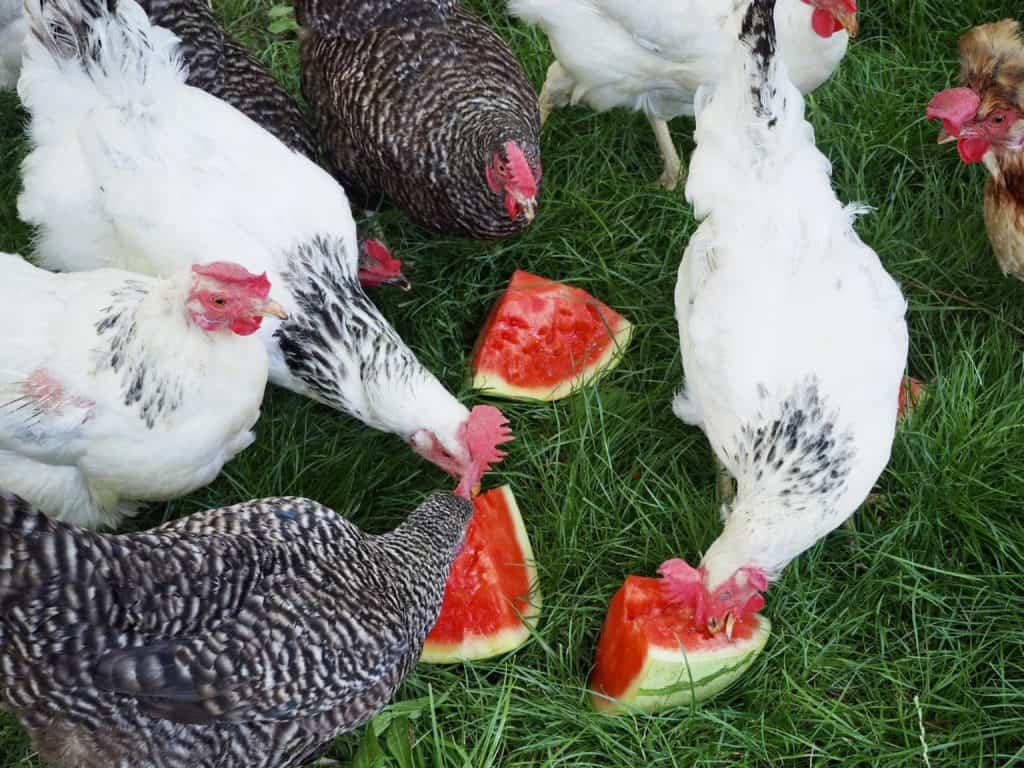 Hühner und Melone