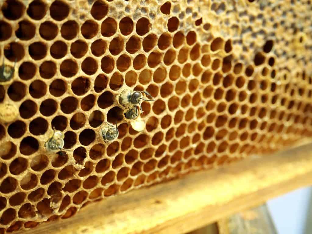 Hier schlüpfen junge Bienen