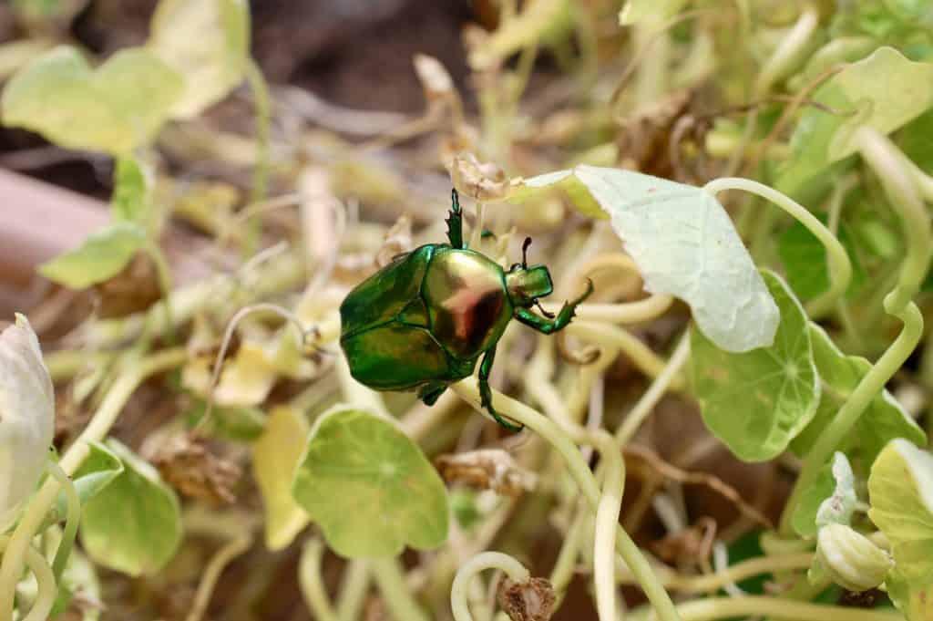 grün schillernder Käfer
