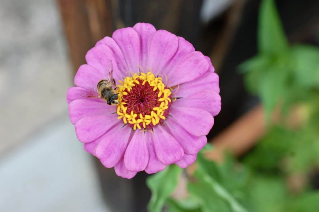 Biene und Zinie