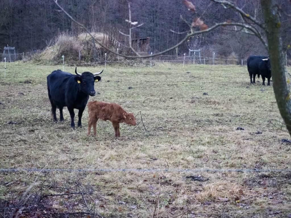 Rind und Kalb