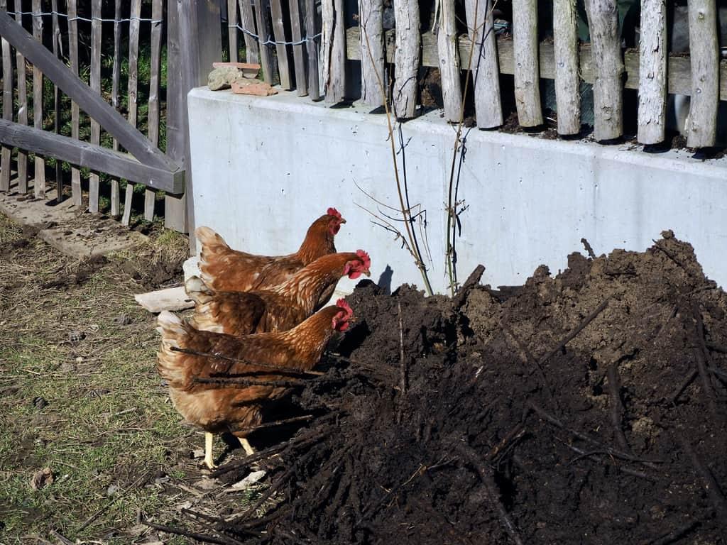 Die Hühner erfreuen sich am Kompost…
