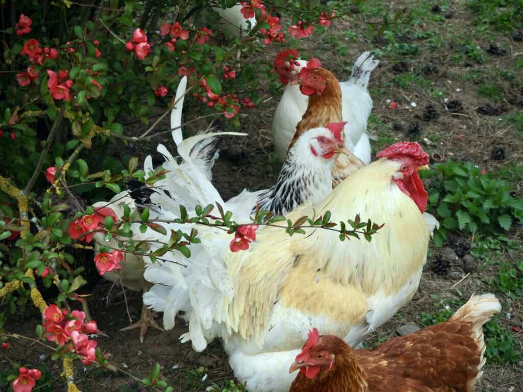 Hühner und Zierquitte