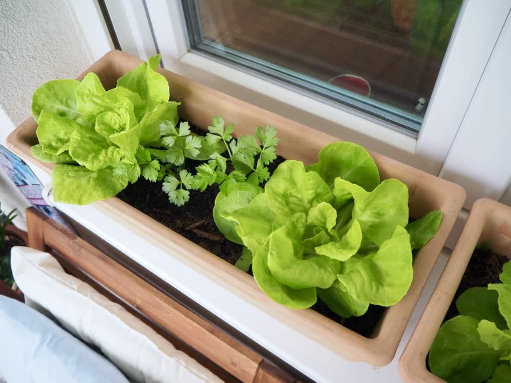 Gemüsegarten am Fensterbrett: Salat und Sellerie