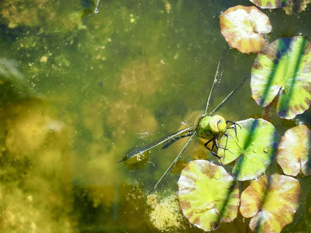 Libelle im Gartenteich
