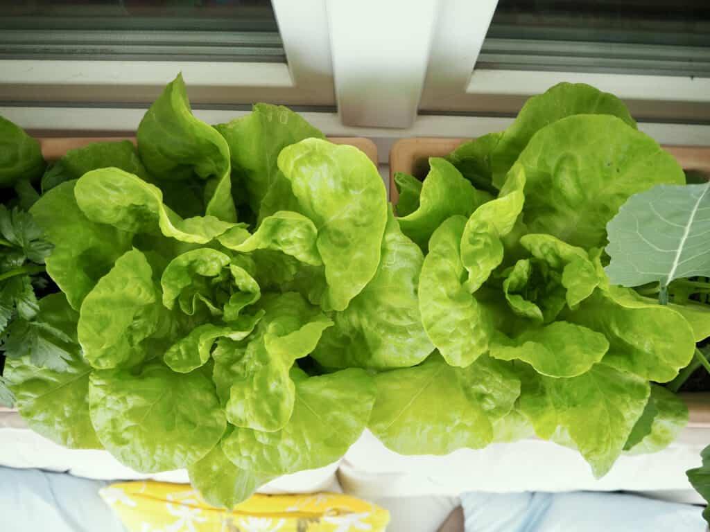 erntebereiter Kopfsalat