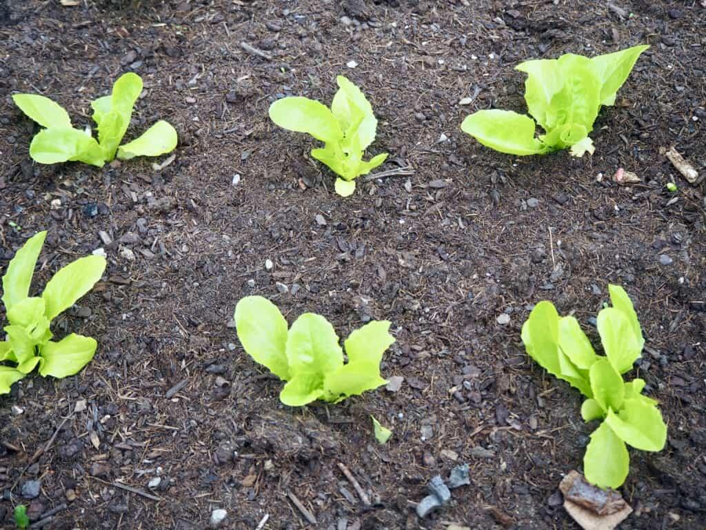 Salat-Setzlinge Abstand