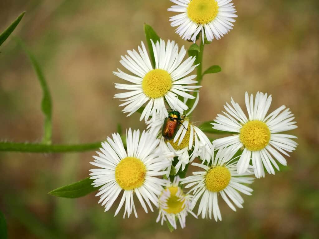 Käfer auf Gänseblümchen