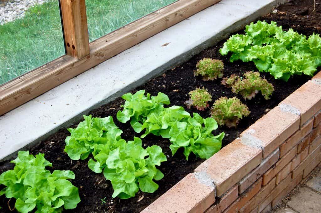 Kopfsalat im Glashaus-Beet
